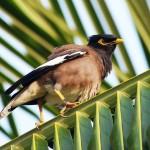 מסתמן פתרון לבעיית ציפורי המיינה