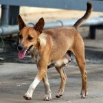 כפר יונה: להקות כלבים משוטטים מטילות אימה